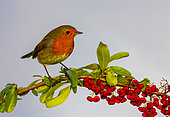 Robin (Erithacus rubecula) perched on a pyracantha, England