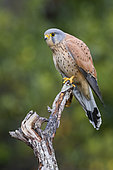 Common Kestrel (Falco tinnunculus), adult male perched on a dead branch, Campania, Italy