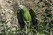 Blue-fronted Parrot (Amazona æstiva) on a branch, Pantanal, Brazil
