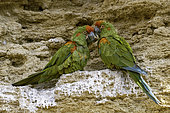 Red-fronted Macaw (Ara rubrogenys) on cliff, Santa Cruz de la Sierra, Bolivia