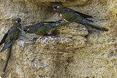 Burrowing Parrot (Cyanoliseus patagonus) on cliff, Patagonia, Argentina, Chile