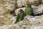 Mitred Parakeet (Psittacara mitratus) on cliff, Peru