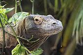 Komodo Dragon (Varanus komodœnsis) portrait, Komodo, Flores, Rinca, Indonésia