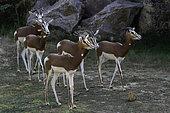 Dama Gazelle (Nanger dama) group, Mali, Niger, Chad