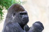 Western Gorilla (Gorilla gorilla gorilla )male, Cameroon, Democratic Republic of Congo, Gabon