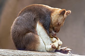 Goodfellow's Tree Kangaroo (Dendrolagus goodfellowi) with joey, New Guinea
