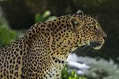 Sri Lanka Leopard (Panthera pardus kotiya), Skri Lanka