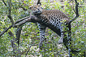 Javan Leopard (Panthera pardus melas) on a branch Java Island, Indonesia