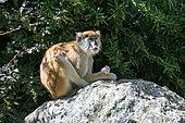 Patas Monkey (Erythrocebus patas) on rock, Democratic Republic of Congo, Cameroon, Gabon