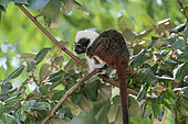Cotton-headed Tamarin (Saguinus œdipus) on a branch, north-west Colombia