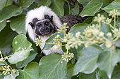 Cotton-headed Tamarin (Saguinus œdipus), north-west Colombia