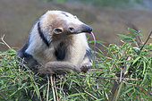 Northern Tamandua (Tamandua mexicana), Costa Rica