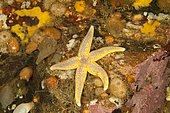 Common starfish, (Asterias rubens), Arctic circle Dive Center, White Sea, Karelia, northern Russia