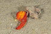 Hermit crab feeding on red sea star, Echinaster sepositus, Marine Protected area Punta Campanella, Massa Lubrense, Penisola Sorrentina, Costa Amalfitana, Italy, Tyrrhenian Sea, Mediterranean