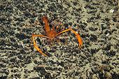 Mediterranean boxer shrimp, Stenopus spinosus, Mitigliano cave, Marine Protected area Punta Campanella, Massa Lubrense, Penisola Sorrentina, Costa Amalfitana, Italy, Tyrrhenian Sea, Mediterranean