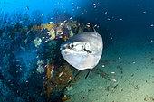 Ocean sunfish, Mola mola, Traliccio dive site, Capri Island, Penisola Sorrentina, Costa Amalfitana, Italy, Tyrrhenian Sea, Mediterranean