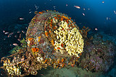 Tire covered with yellow sponges, Aplysina cavernicola, Traliccio dive site, Capri Island, Penisola Sorrentina, Costa Amalfitana, Italy, Tyrrhenian Sea, Mediterranean