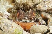 Octopus, Octopus vulgaris, Marine Protected area Punta Campanella, Massa Lubrense, Penisola Sorrentina, Costa Amalfitana, Italy, Tyrrhenian Sea, Mediterranean