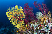 Seafan, Yellow and Red Gorgonian, Paramuricea clavata and Clavelina lepadiformis, light-bulb sea squirt, Punta Carena, Capri Island, Sorrentine Peninsula, Italy, Tyrrhenian Sea, Mediterranean