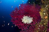 Gorgone rouge (Paramuricea clavata) et Grande Claveline (Clavelina lepadiformis), Punta Carena, île de Capri, péninsule de Sorrente, Italie, mer Tyrrhénienne, Méditerranée