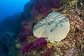 Éponge cuir, Ircinia muscarum, Punta Carena, île de Capri, péninsule sorrentine, Italie, mer Tyrrhénienne, Méditerranée