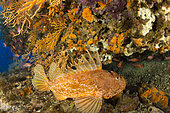 Rascasse rouge (Scorpaena scrofa), Vervece rock, Zone marine protégée Punta Campanella, Massa Lubrense, Penisola Sorrentina, Costa Amalfitana, Italie, mer Tyrrhénienne, Méditerranée