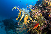 Œuf de requin-chat (Scyliorhinus sp) sur une Gorgone jaune (Eunicella cavolini), zone marine protégée Punta Campanella, Massa Lubrense, Penisola Sorrentina, Costa Amalfitana, Italie, mer Tyrrhénienne, Méditerranée