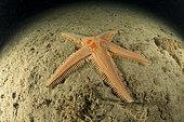Etoile de mer à peigne (Astropecten auranciacus) sur le fond, Baie de Puolo, zone marine protégée Punta Campanella, Massa Lubrense, Penisola Sorrentina, Costa Amalfitana, Italie, mer Tyrrhénienne, Méditerranée