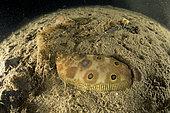 Sole-perdrix ocellée (Microchirus ocellatus) sur le fond, Baie de Puolo, zone marine protégée Punta Campanella, Massa Lubrense, Penisola Sorrentina, Costa Amalfitana, Italie, mer Tyrrhénienne, Méditerranée
