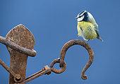 Blue tit (Cyanistes caeruleus) perched on a rusty piece of steel, England