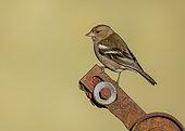 Chaffinch (Fringilla coelebs) perched on a rusty piece of steel, England