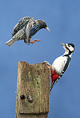 Great spotted woodpecker (Dendrocopos major) Starking (Sturnus vulgaris) fighting on a post, England