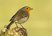 Robin (Erithacus rubecula) perched on a branch, England