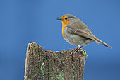 Robin (Erithacus rubecula) perched on a post, England