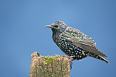 Starling (Sturnus vulagaris) perched oon a post, England