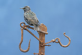Starling (Sturnus vulagaris) perched on an old piece of rusty steel, England