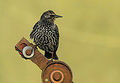 Starling (Sturnus vulagaris) perched on a piece of rusty steel, England