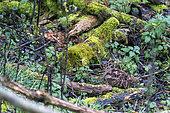 Bécasse des bois (Scolopax rusticola) en sous-bois, Angleterre