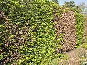 Maladie d'une haie de charmilles (Carpinus betulus)