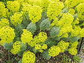 Euphorbia characias ssp. wulfenii 'John Tomlinson'