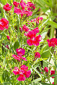 Dianthus barbatus 'Festival Red'