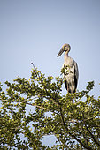 Asian Openbill (Anastomus oscitans) on the top of a tree. Yala National Park, Southern Province, Sri Lanka.