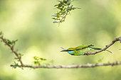 Little green bee eater (Merops orientalis) sitting on perch. Yala National Park, Southern Province, Sri Lanka.