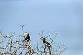 Couple of Malabar pied hornbills, female and male (Anthracoceros coronatus) perched in tree, Yala National Park, Southern Province, Sri Lanka.