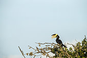 Malabar pied hornbills, male (Anthracoceros coronatus) perched in tree, Yala National Park, Southern Province, Sri Lanka.