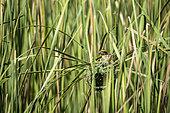 Streaked weaver (Ploceus manyar) nesting. Yala National Park, Southern Province, Sri Lanka.