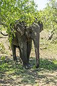 Asian elephant (Elaphus maximus). Yala National Park, Southern Province, Sri Lanka.