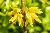 Forsythia intermedia 'Beatrix Farrand'