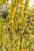 Forsythia ovata 'Tetragold'