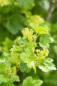 Ribes alpinum 'Aureum'